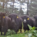 Yakkin' with a brand new herd