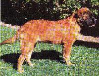 Longhaired Bullmastiff Puppy