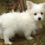 Corgi mix breeds are cute (25 pictures)