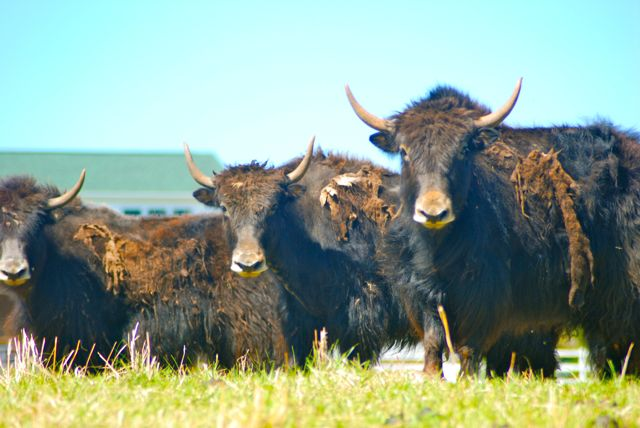 Faq about yak &lsaquo the meadows at lake norman much will they