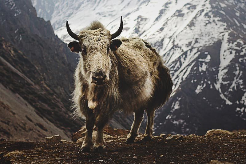 Feral yak remote regions of Kyrgyzstan