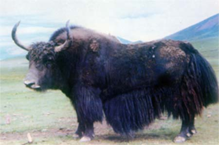 Feral yak month pregnancy period, just one
