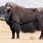 Feral yak