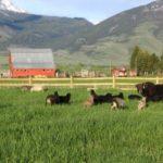Guard yaks