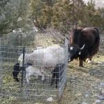 ewe w/ newborns and yak