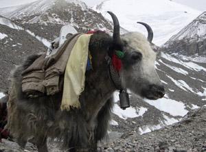 Tibet yak