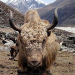 Healthy yak – about yaks