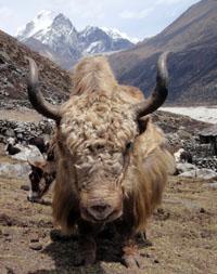 Old yak
