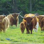 Highland cattle herd value??