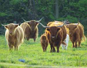 Highland cattle herd value?? You will have to