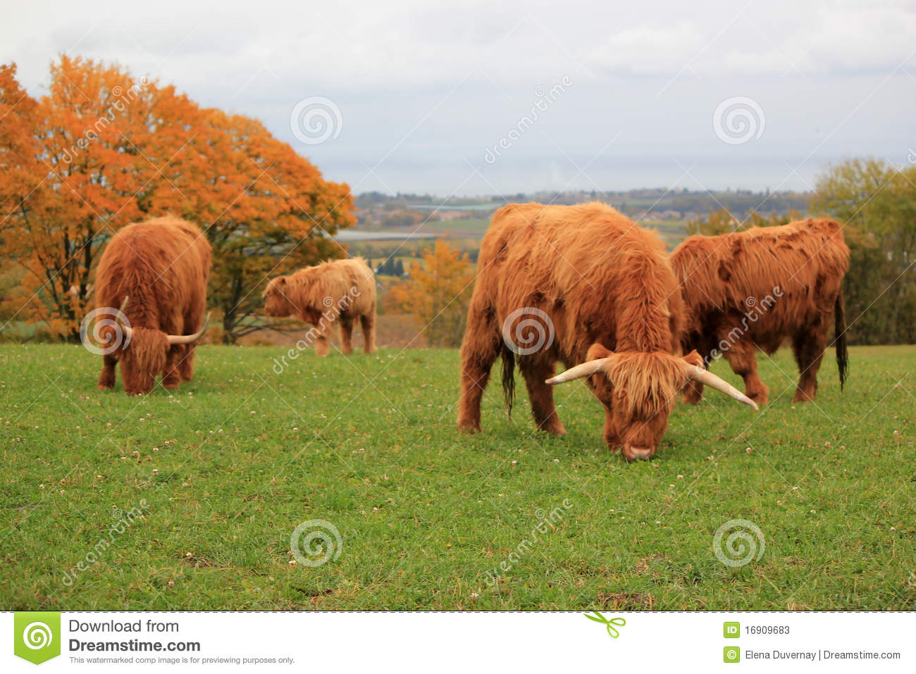 Highland cattle herd value?? greater number of meat per