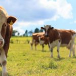 How you can differentiate between bulls, cows, steers and heifers