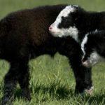 Idaho rancher, yak an inseparable duo