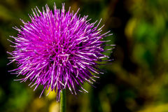 A Bull or Spear Thistle in Full Bloom? Stock Photo