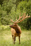 Large bull elk standing in field with large antlers in full summ Stock Photography