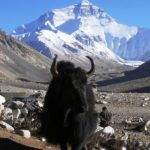 Nations of mountain yaks