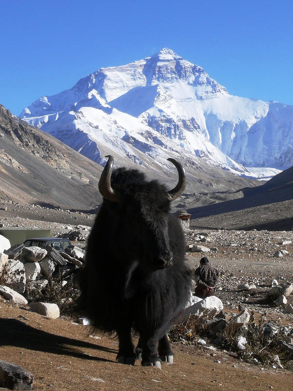 Nations of mountain yaks in the area being