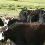 New expect the tibetan wild yak > wcs china