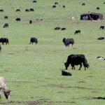 Tibet: nature yak