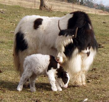 Royal yak cow and calf Spring Brook Ranch