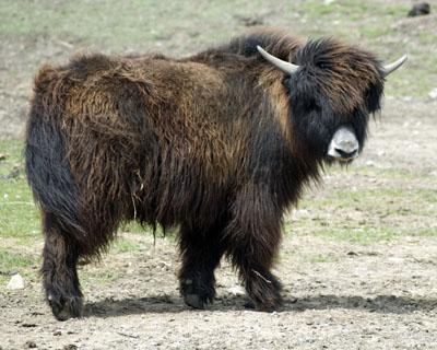 black yak bull P062 Spring Brook Ranch