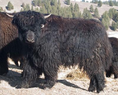 Imperial yak heifer 907 Spring Brook Ranch