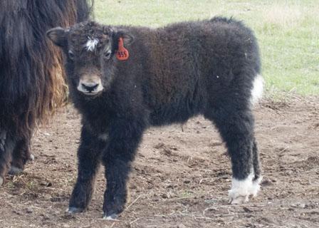 trim yak bull calf Spring Brook Ranch