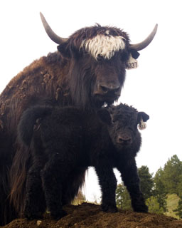 imperial yak cow and calf Spring Brook Ranch