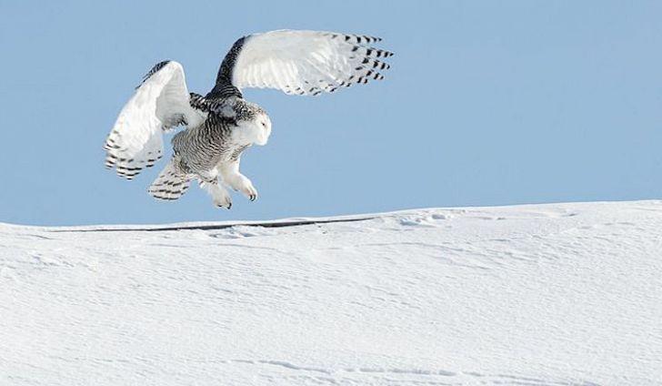 #4 Snowy Owl -