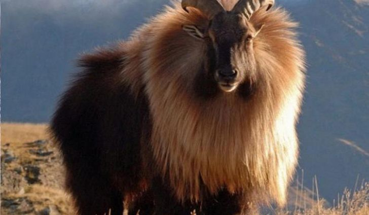 #3 Himalayan Tahr -