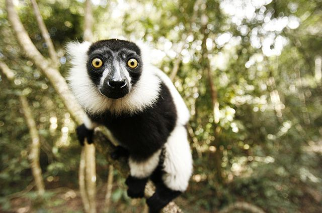 Why keeping exotic creatures as pets threatens the survival of among the world's most endangered species both indigenous to Madagascar, such