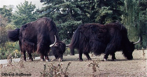 Wild yak Forestry Bureau, WCS is