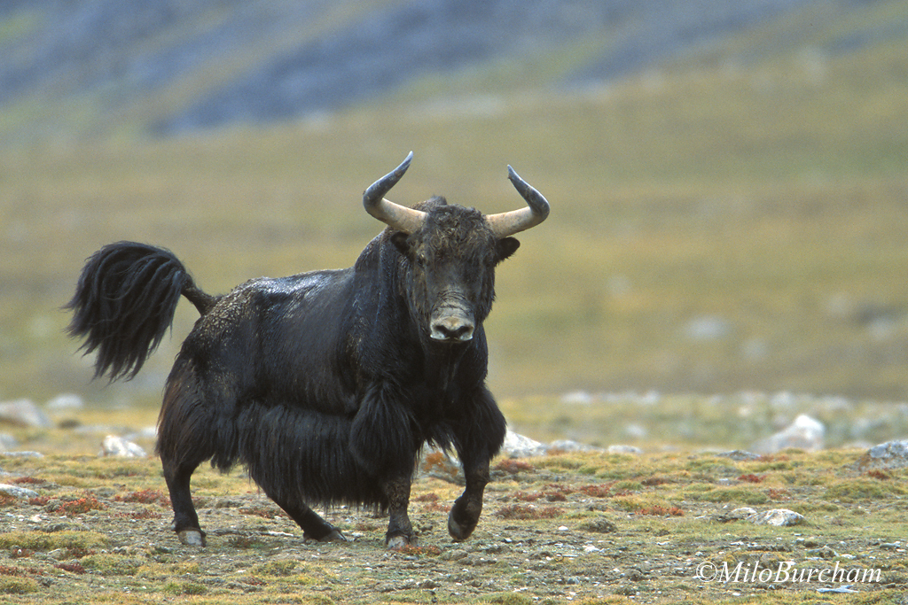 Wild yak the availability