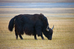 Adult male wild Yak grazing in the steppe Royalty Free Stock Images