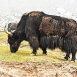 Wild yak royalty free stock photos – image: 26909848