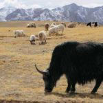 With 60% fall in population, dwindling yak count worries ladakh