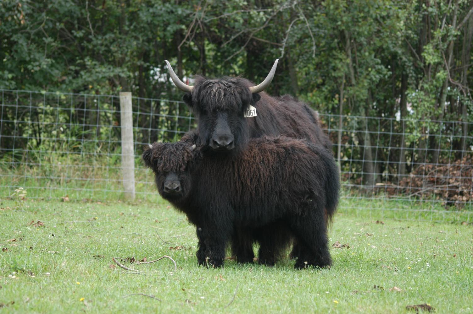 Worldwide yak association - home an enjoyment to possess
