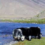 Yak (bos grunniens) – creatures – a-z creatures