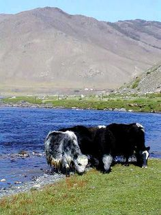Yak (bos grunniens) - creatures - a-z creatures pet is         300