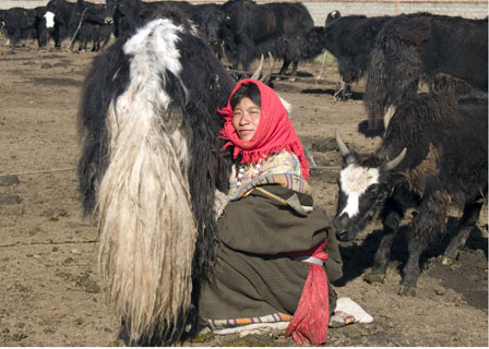 woman milking a yak cow Tibet Spring Brook Ranch