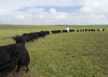 yak cows staked on rope for milking