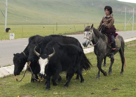 Mongolian nomad herding Dzo