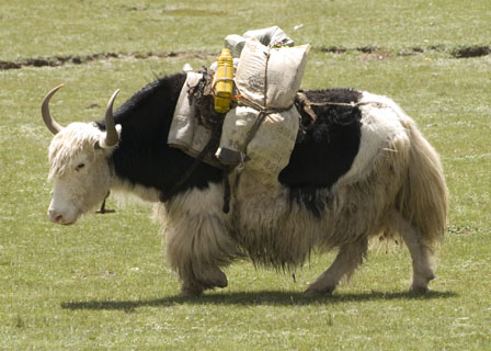 pack yak Tibet Spring Brook Ranch