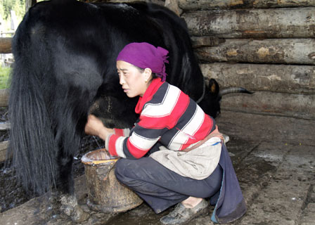 Tibetan woman milking a yak Tibet Spring Brook Ranch