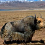 Yak – tibet travel blog
