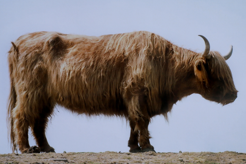 Yak - yaks, wild, domesticated, and species full-sized at