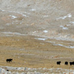 Yaks are coming back to tibet, but does global warming pose further risks? – scientific american blog community