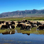 "Yaks: the ""treasure"" and ""boat"" on tibetan plateau"