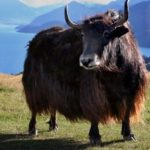 Yaks—living our prime existence
