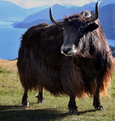 Yaks—living our prime existence offer helpful